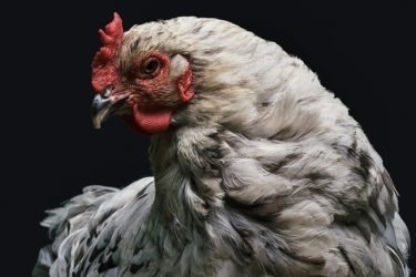 韓国農家の鶏卵から有害成分が検出 「2万4千個がすでに首都圏に流通」地元紙