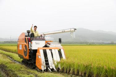 韓国米産地、日本産に代わり国産米100%栽培に 「コシヒカリからの完全独立を夢みてきた」