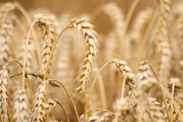 韓国紙「コシヒカリや秋晴に代わる国産米普及を」「種子主権回復で自尊心取り戻そう」