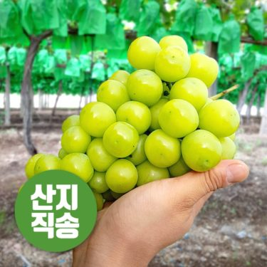 韓国済州島でシャインマスカットの初収穫 「日本に権利料払わず輸出する権利」