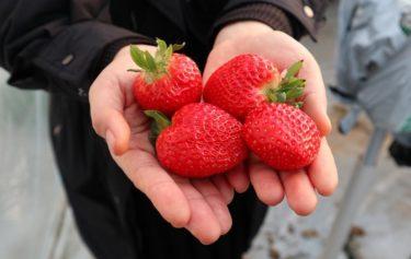 輸出好調の韓国産イチゴ 「雪香(ソルヒャン)」に続く品種も続々…中国ではロイヤリティも発生