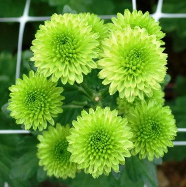 韓国が「菊」の国産新品種を開発登録 「世界市場でロイヤリティをもらう」